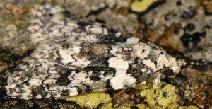 Bryophila domestica 4