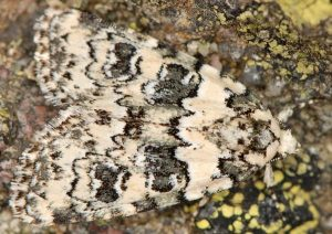 Bryophila domestica 5