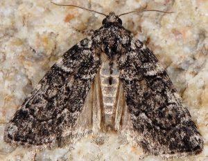 Bryophila galathea 1