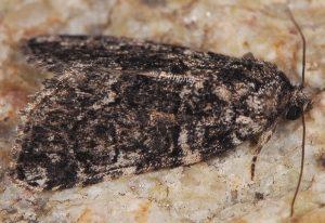Bryophila galathea 2