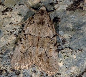 Bryophila petrea 1