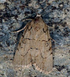 Bryophila petrea 2