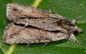 Bryophila raptricula 1