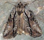 Bryophila raptricula (I)