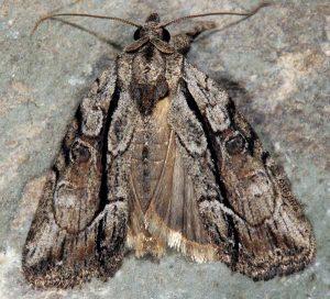 Bryophila raptricula 2
