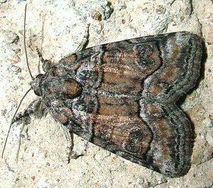 Bryophila ravula 1