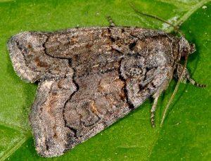 Bryophila ravula 2