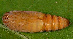 Bryophila ravula p 1