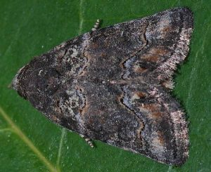Bryophila vandalusiae 1