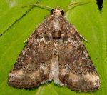 Bryophila vandalusiae (I)