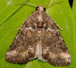 Bryophila vandalusiae 2