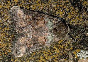Bryophila vandalusiae 4