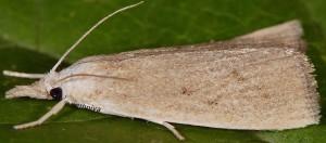 Calamotropha paludella 06 1