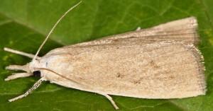 Calamotropha paludella 06 2