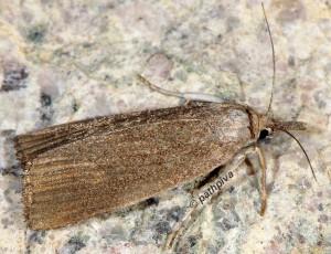 Calamotropha paludella 2B 1