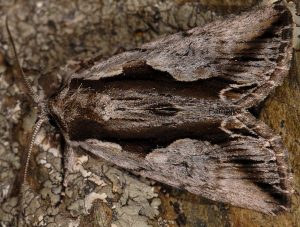Calliergis ramosa 2