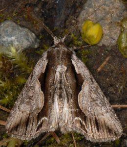 Calliergis ramosa 3