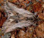 Calophasia platyptera (I, l5, C)