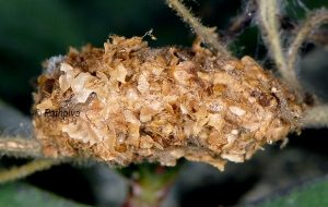 Calophasia platyptera c