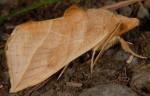 Calyptra thalictri (I, L5)