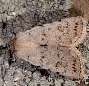 Caradrina fuscicornis 1