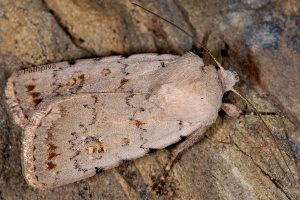 Caradrina fuscicornis 2