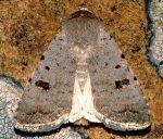 Caradrina kadenii (I)