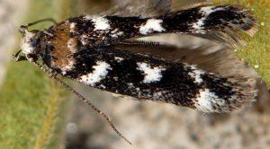 Caryocolum-tischeriella-06-4