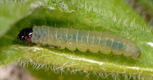 Caryocolum-tischeriella-l5-06-1