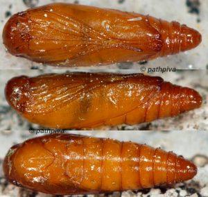 Caryocolum-tischeriella-chrysalide-06-1
