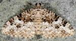Catarhoe putridaria 06 1