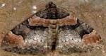 Catarhoe rubidata 66 1