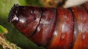 Catephia alchymista p 4