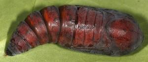 Catocala dilecta
