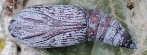 Catocala fraxini p 1