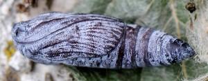 Catocala fraxini p 2