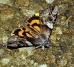 Catocala fulminea (I)