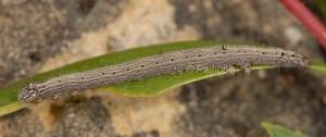 Catocala lupina L3