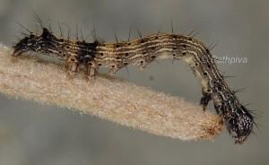 Catocala nymphaea L3 1