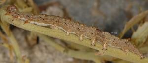 Catocala nymphaea L5 3