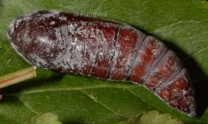 Catocala nymphaea p 2