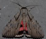 Catocala optata (I)