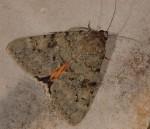 Catocala puerpera (I, L4, L5, P)