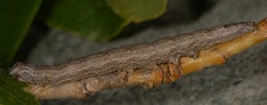 Catocala puerpera L4 1