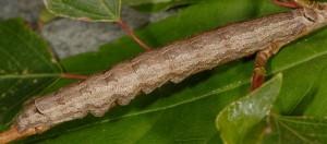 Catocala puerpera L5 1