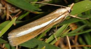 Catoptria bolivari 65 3