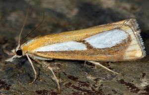 Catoptria conchella 06 1