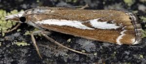 Catoptria corsicellus 2B 1