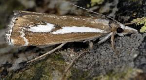 Catoptria corsicellus 2B 2