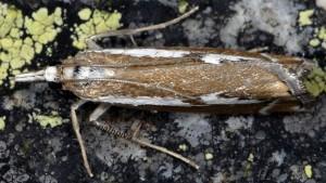 Catoptria corsicellus 2B 4